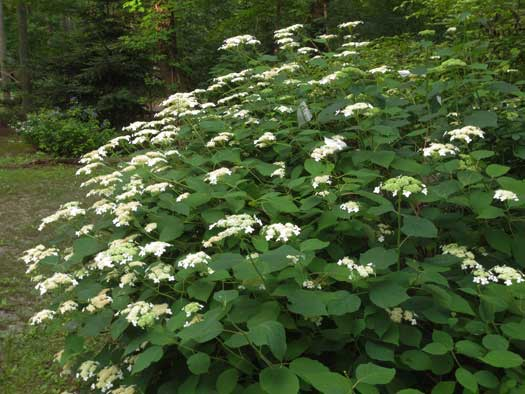 Silverback Native Hydrangea - 3 quart