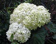 Bounty Mophead Hydrangea - trade gallon