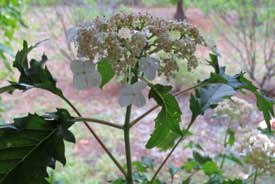 Hydrangea arborescens 'Emerald Lace' - trade gallon