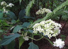 Hayes' Starburst hydrangea - trade gallon
