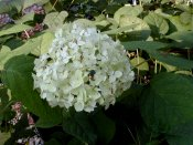 Hills of Snow Hydrangea - trade gallon