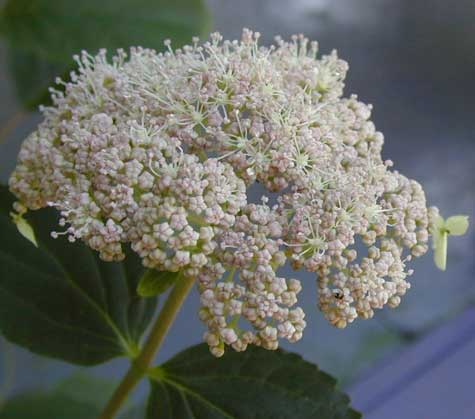 Pink Pincushion Hydrangea - trade gallon