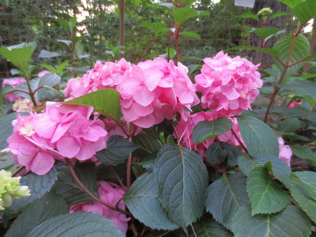 Hydrangea m BloomStruck - 1 gallon