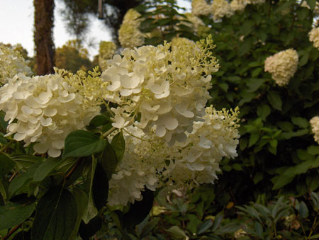 Silver Dollar PeeGee Hydrangea - trade gallon