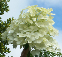 White Moth PeeGee Hydrangea - trade gallon