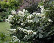 Alice Oakleaf Hydrangea - trade gallon