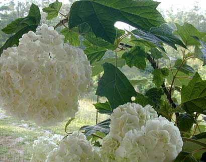 Harmony Oakleaf Hydrangea - trade gallon