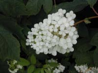 Pee Wee Oakleaf Hydrangea -trade gallon