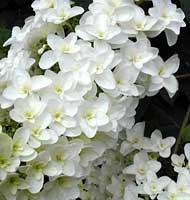 Snowflake Oakleaf Hydrangea - various sizes