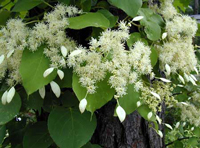 Chinese Climbing Hydrangea - various sizes