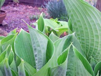 Hosta 'Sum  Substance' - 1 gallon