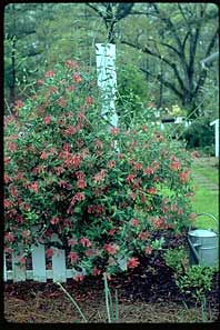 Alabama Crimson Honeysuckle - trade gallon