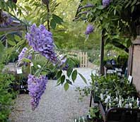 Amethyst Falls Native Wisteria - 2 gallon